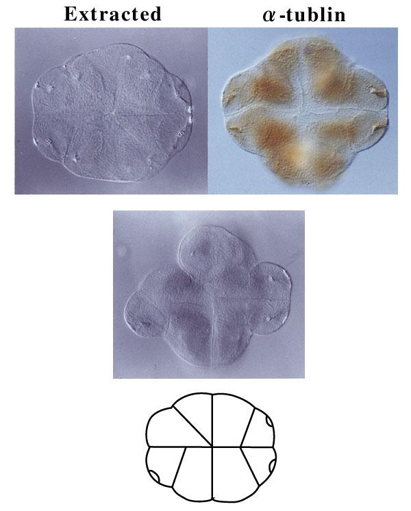 生物の発生] 16細胞期 -不等分...